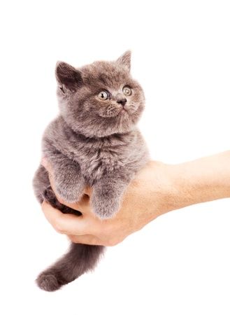 animal body part: cute little kitten sitting on the palm of a man, isolated against white background