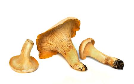 chanterelle: three fresh chanterelle mushrooms isolated against white studio background