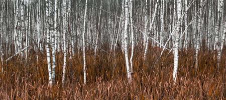 natural background, white birch trees in yellow autumn grass. Standard-Bild