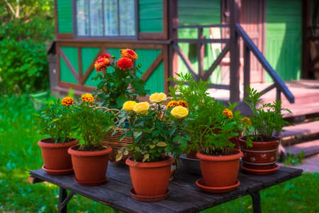 monochromatic garden in the house, flowers in pots, yellow and orange, Marigolds, Roses, Dahlia