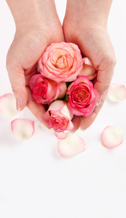 Close up of womans hands holding pink roses over white background
