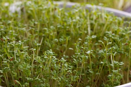 Cress salad on wet base, closeup, macro