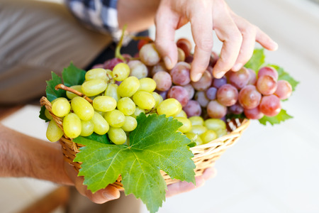 Farmer holding pink and white grapes autumn harvest close up