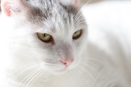 Close up portrait of white domestic cat Stock Photo