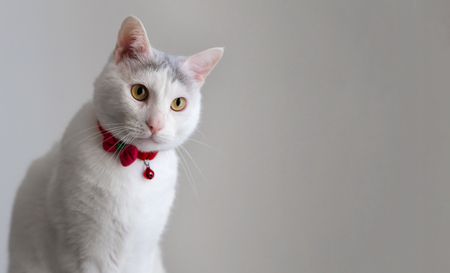 Portrait of a white cat with red collar in a seating position, horizontal copy space Stock Photo