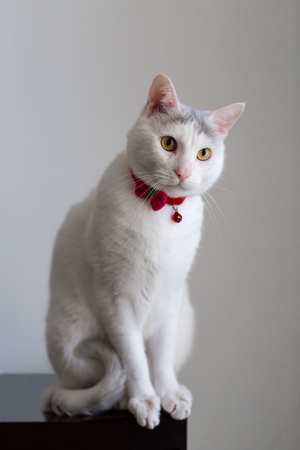 Portrait of a white cat with red collar in a seating position vertical