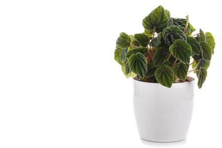 Peperomia caperata, smaragdgrüne Ripple Zimmerpflanze isoliert auf weißem Hintergrund