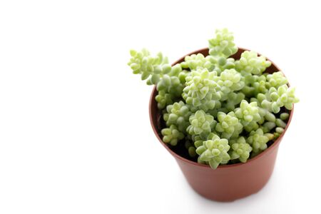 Small succulent sedum in a pot isolated over white, modern trendy house decoration Stok Fotoğraf