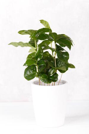Coffee arabica plant