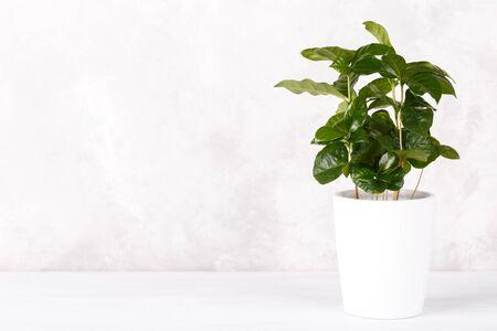 Coffee arabica plant in a white ceramic pot on the kitchen counter copy space