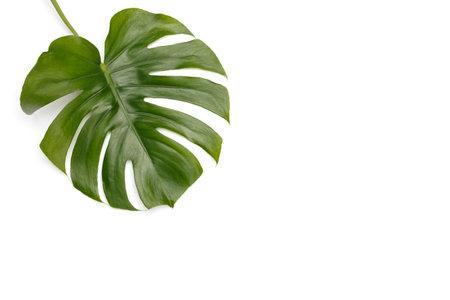 Monstera deliciosa leaf on white Stockfoto