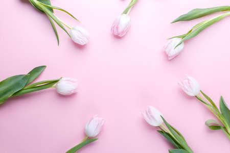 Tulips on pink background flat lay with copy space Stockfoto