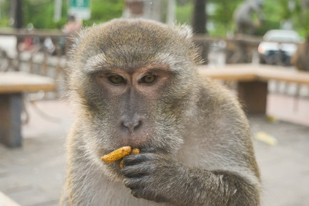 monkey nuts: Monkey eating a nut and thinking Stock Photo