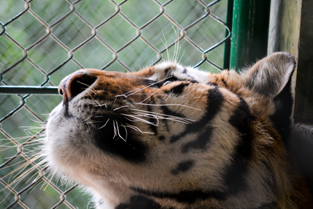 freedom of thought: Big tiger in a prison wathcing to window Stock Photo