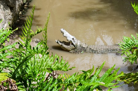 big mouth: Alligator with an open mouth in the murky waters of the river