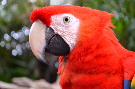 beak: Large parrot red color with a huge beak close-up