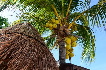 thatched roof: Palm tree with bunches of king coconuts on the blue sky background and house with thatched roof