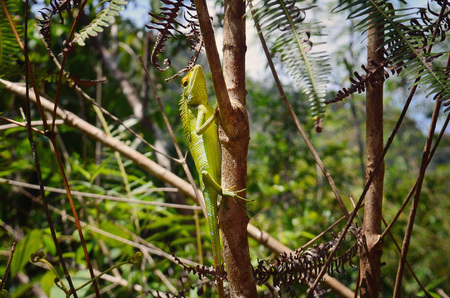 plants species: Chameleon verde con una lunga coda, seduta su un ramo di un albero Archivio Fotografico