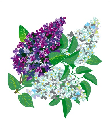 beautiful lilac Stock Vector - 13402438