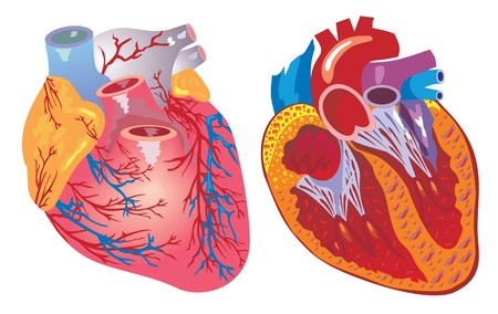 heart bypass: vector isolated heart and cardiovascular system Illustration