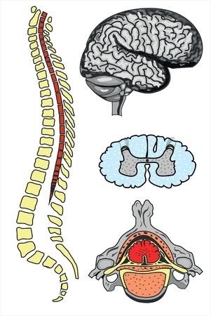 lombaire: cerveau et la colonne vert�brale vecteur humain Illustration