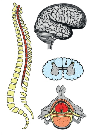 vertebrae view: vector human brain and spine