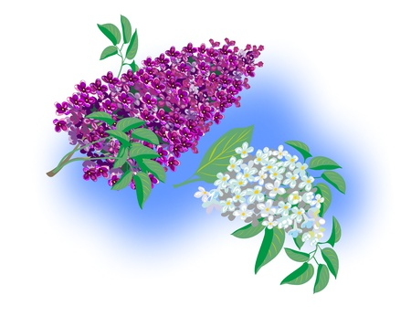Two beautiful branches of lilac