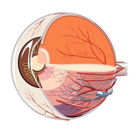 globo ocular: la imagen de la anatomía del globo ocular