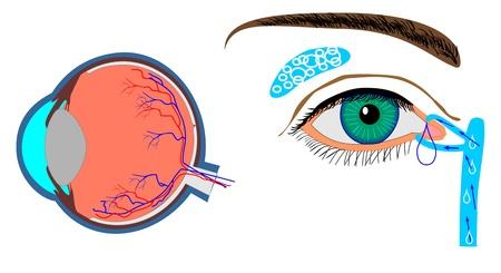 structuur van de oogbol en lokalisatie traanklier gland