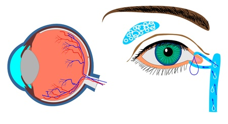fibra ottica: struttura del bulbo oculare e della ghiandola lacrimale localizzazione Vettoriali