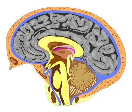 정면: 두뇌 (사이드 뷰)의 해부학