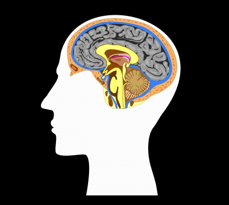 white silhouette of a human head with brain anatomy inside  Illustration