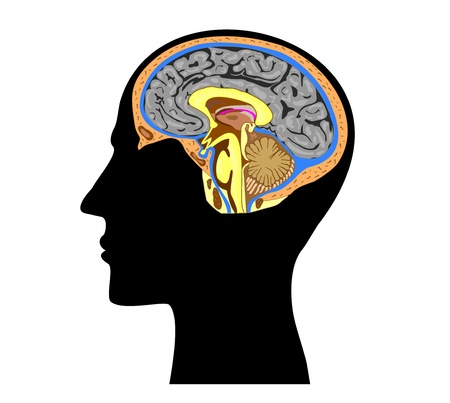 silhouette of a human head with brain anatomy inside  Stock Vector - 16833151