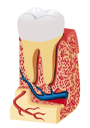 blood flow: tooth anatomy (model)