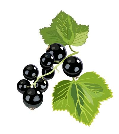 currant: vector branch of black currant