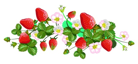 Vector isolated strawberries  Illustration