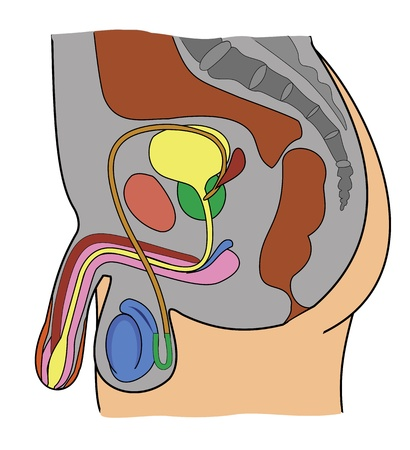 anatomy of male genital system Stock Vector - 21748711