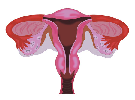 endometrium: anatomy of the vagina