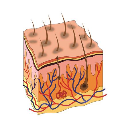 papilla: Skin anatomy
