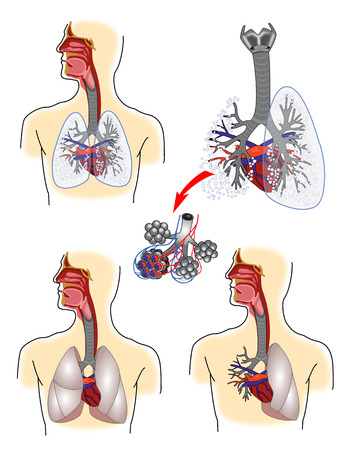 Respiratory system anatomy Illustration