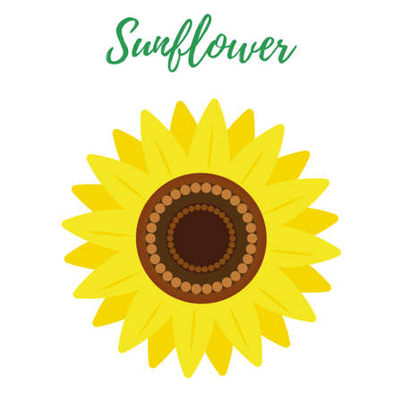 The sunflower flower is isolated on a white background.