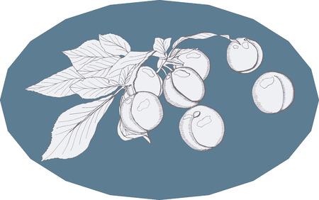plum: plum fruit fruits harvest