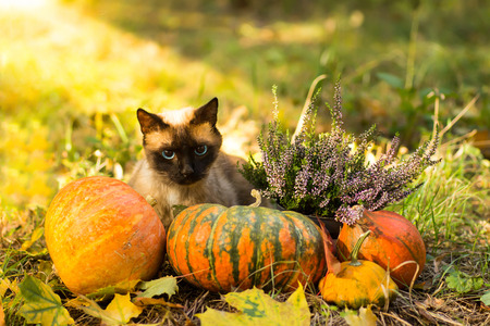 Cute cat sitting with Halloween pumpkins in the grass