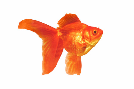 Gold fish jelly isolated on white background with clipping path.