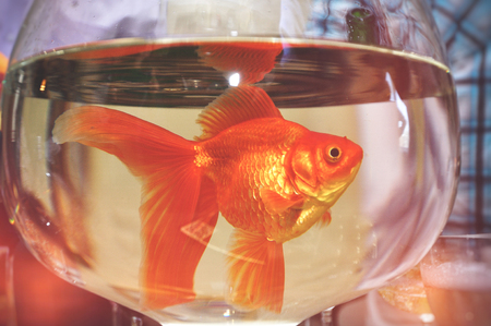Goldfish in a round glass of clean clean water on a table close-up background. The concept of clean drinking water and ecology of the environment.