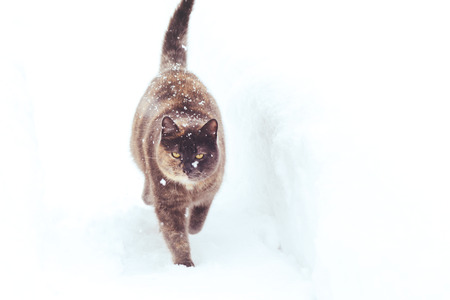 big cat walks in the winter in the snow, health and animal care.