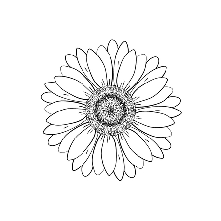 Open petals daisy head flower. Floral Botany drawings. Black and white line art. Abstract floral background. Gerbera daisy. Sketch Element for design