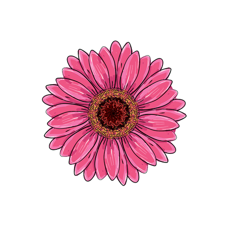 Brite pink magenta color with black and white line gerbera flower isolated. Hand-drawn contour lines and strokes. Vector flower gerbera. Element for design. Gerber Daisy sketch illustration