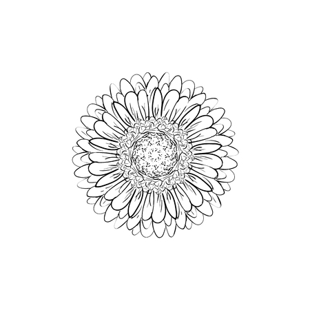 Monochrome, black and white gerbera flower isolated. Hand-drawn contour lines and strokes. Vector flower gerbera. Element for design. Gerber Daisy sketch illustration