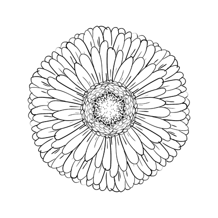 Beautiful monochrome gerbera isolated on white background. for greeting cards, wedding invitations, birthday, Valentines Day, mothers day, seasonal holidays. Gerber Daisy line sketch illustration